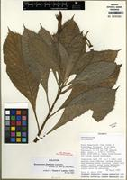 Holotype of Burmeistera fimbriata Lammers [family CAMPANULACEAE]