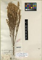 Isotype of Gundlachia domingensis (Spreng.) A. Gray [family ASTERACEAE]