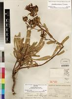 Holotype of Grindelia stricta var. stricta [family ASTERACEAE]