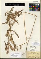 Isotype of Thelypteris palustris (A. Gray) Schott [family THELYPTERIDACEAE]
