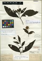 Isotype of Smallanthus quichensis (J.M. Coult.) H. Rob. [family ASTERACEAE]