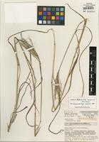 Isotype of Bothriochloa bunyensis B.K. Simon [family POACEAE]