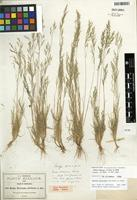 Isolectotype of Bealia mexicana Scribn. [family POACEAE]