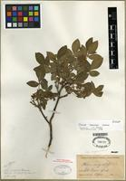 Isotype of Ptelea confinis Greene [family RUTACEAE]