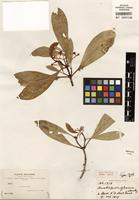 Holotype of Havetiopsis glauca Rusby [family CLUSIACEAE]