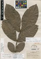 Isotype of Inga spectabilis (Vahl) Willd. [family FABACEAE]
