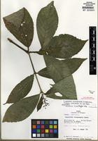 Holotype of Coussarea veraguensis Dwyer [family RUBIACEAE]