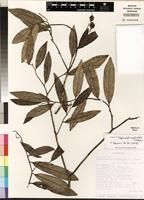 Holotype of Stephanodaphne pedicellata Z.S. Rogers [family THYMELAEACEAE]