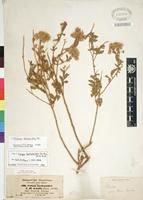 Type of Pluchea dioscoridis (L.) DC. [family ASTERACEAE]
