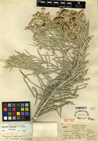 Holotype of Vernonia larseniae B.L. King & S.B. Jones [family ASTERACEAE]