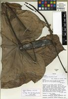 Holotype of Anthurium colonense Croat [family ARACEAE]