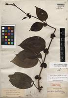 Isotype of Marsdenia schlechteriana W. Rothe [family APOCYNACEAE]