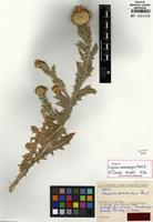 Isotype of Cousinia acanthophysa Rech. f. [family ASTERACEAE]
