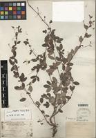 Isotype of Lespedeza texana Britton [family FABACEAE]