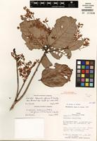 Holotype of Sterculia costaricana var. glauca (A.H. Gentry) E.L. Taylor [family MALVACEAE]