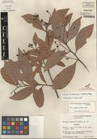 Isotype of Nectandra turbacensis (Kunth) Nees [family LAURACEAE]
