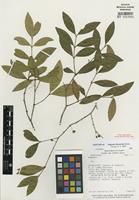 Isotype of Eugenia chavarriae Barrie [family MYRTACEAE]
