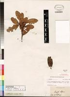 Isotype of Erythroxylum pictum Meyer ex Sonder [family ERYTHROXYLACEAE]
