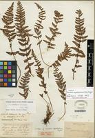 Isotype of Woodsia scopulina D.C. Eaton [family WOODSIACEAE]