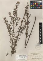 Isotype of Lespedeza angustifolia fo. subvelutina Fernald [family FABACEAE]