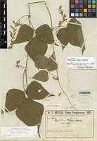 Isotype of Rhynchosia rojasii Hassl. [family FABACEAE]
