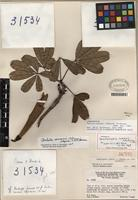 Holotype of Pachira cowanii (A. Robyns) W.S. Alverson [family MALVACEAE]