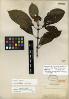 Isotype of Psychotria chiriquiensis (Standl.) C.M. Taylor [family RUBIACEAE]