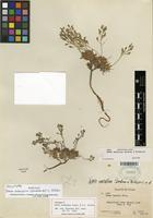 Holotype of Draba subalpina Goodman & C.L. Hitchc. [family BRASSICACEAE]