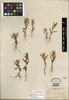 Isotype of Aster laurentianus Fernald [family ASTERACEAE]