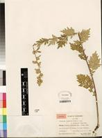 Isotype of Artemisia tangutica var. tomentosa Hand.-Mazz. [family ASTERACEAE]