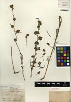 Isotype of Calycadenia mollis A. Gray [family ASTERACEAE]