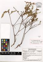 Isotype of Cuphea pulchra var. corollata T.B. Cavalc. & S.A. Graham [family LYTHRACEAE]