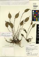 Holotype of Lepanthes binaria Luer & Hirtz [family ORCHIDACEAE]
