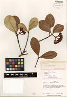 Holotype of Clusia liesneri Maguire [family CLUSIACEAE]