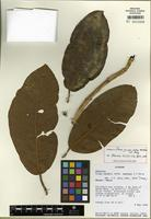 Isotype of Ficus jacobii subsp. mantana C.C. Berg [family MORACEAE]