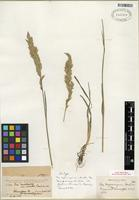 Isotype of Poa wyomingensis Scribn. [family POACEAE]