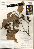 Isotype of Licaria triandra (Sw.) Kosterm. [family LAURACEAE]