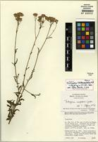Isotype of Trichogonia campestris Gardner [family ASTERACEAE]