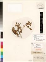 Isolectotype of Lotononis calycina (E. Mey.) Benth. [family FABACEAE]