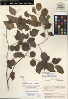Holotype of Phyllanthus liesneri G.L. Webster [family PHYLLANTHACEAE]