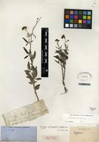 Isotype of Florestina tripteris DC. [family ASTERACEAE]