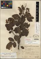 Isotype of Senna neglecta var. furnicola H.S. Irwin & Barneby [family FABACEAE]