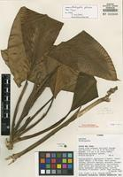 Holotype of Rhodospatha pellucida Croat & Grayum [family ARACEAE]