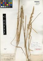 Isotype of Calamagrostis rubescens Buckley [family POACEAE]