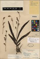 Isolectotype of Polystachya panamensis Schltr. [family ORCHIDACEAE]