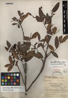 Holotype of Cojoba rufescens (Benth.) Britton & Rose [family FABACEAE]
