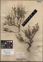 Isotype of Scutellaria suffrutescens S. Watson [family LAMIACEAE]