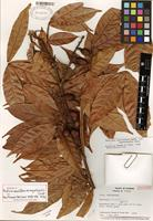 Holotype of Paullinia sessiliflora var. angustirachis Croat [family SAPINDACEAE]