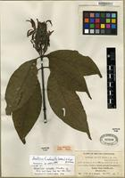 Isotype of Justicia fimbriata (Nees) V.A.W. Graham [family ACANTHACEAE]