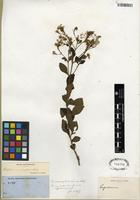 Isotype of Ageratina ligustrina (DC.) R.M. King & H. Rob. [family ASTERACEAE]